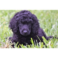 View full profile for Poodle Majesty