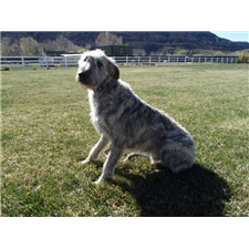 View full profile for Animas Wolfhounds