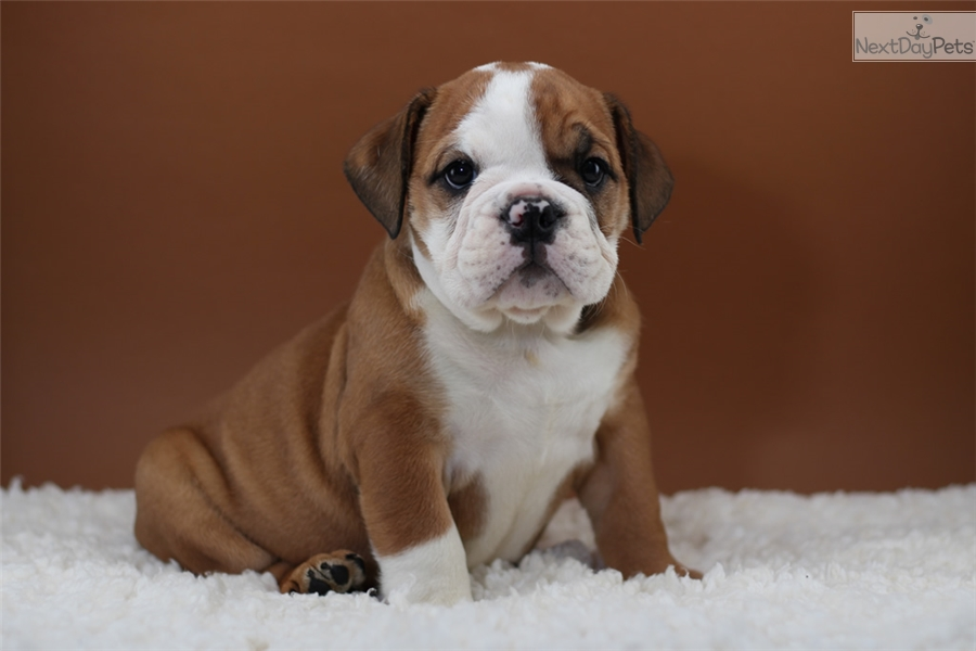 english bulldog nj english bulldog puppy for sale near north jersey new 9941