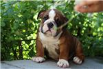 Picture of Ewok - English Bulldog - Papered