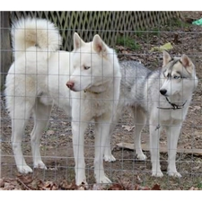 View full profile for Skudder's Siberians