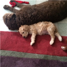 View full profile for Calebs Labradoodles