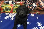 Labradoodle for sale