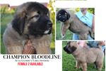 Picture of Bella , puppy girl available !