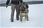 Picture of Ivan , amazing boy , caucasian mountain dog