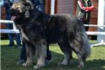 Picture of Ivana amazing female , caucasian mountain dog