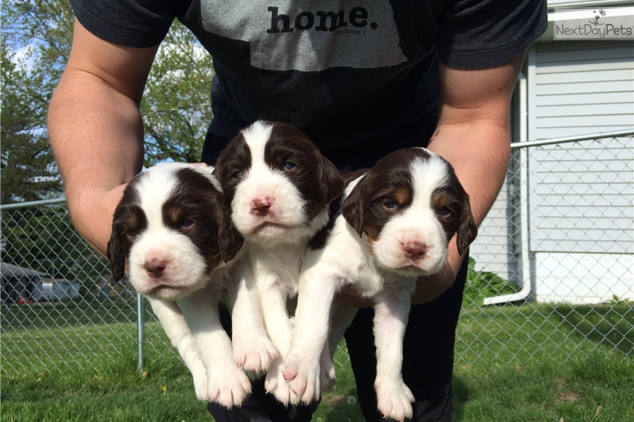 Ivy English Springer Spaniel Puppy For Sale Near Omaha Council