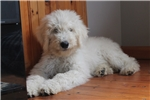 Picture of 4.5 month old Komondor pup for sale