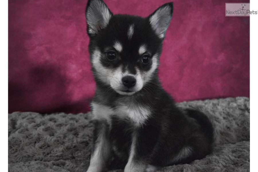 Alaskan Klee Kai Puppy For Sale Near San Diego California
