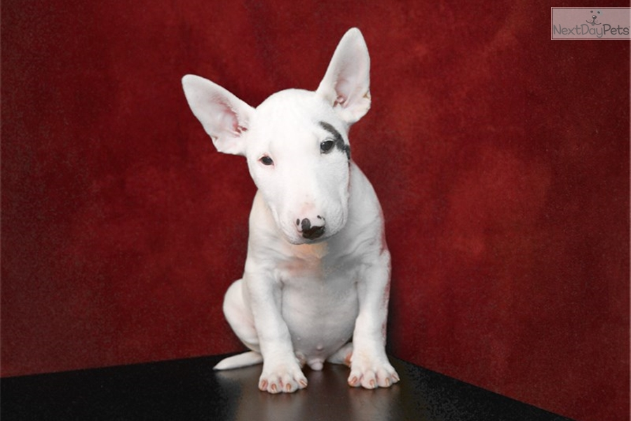Miniature Bull Terrier Puppies For Sale - ARCHIDEV
