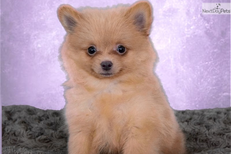 pomeranian puppies for sale in san diego lady pomeranian puppy for sale near san diego california 8052