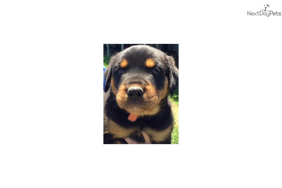 Camo Rottweiler Puppy For Sale Near Dallas Fort Worth Texas