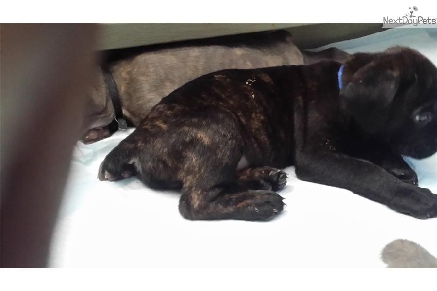 Dark Blue Cane Corso Mastiff Puppy For Sale Near Detroit Metro