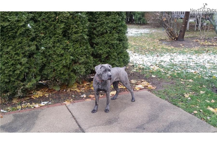 Gracie Cane Corso Mastiff Puppy For Sale Near Detroit Metro