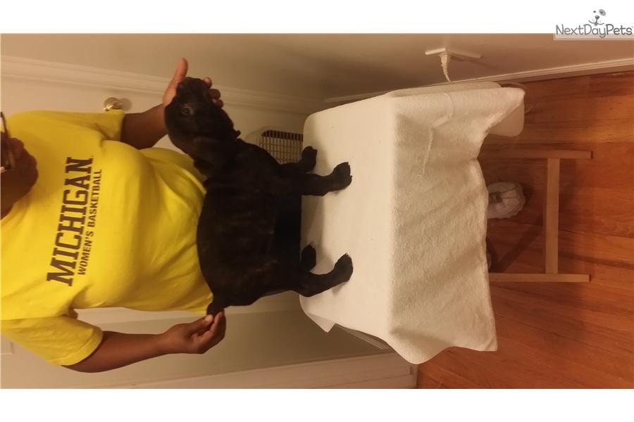 Sunshine Cane Corso Mastiff Puppy For Sale Near Detroit Metro