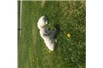 Picture of Upcoming Komondor  Pups
