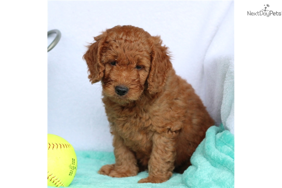 Marvel Goldendoodle Puppy For Sale Near Lancaster