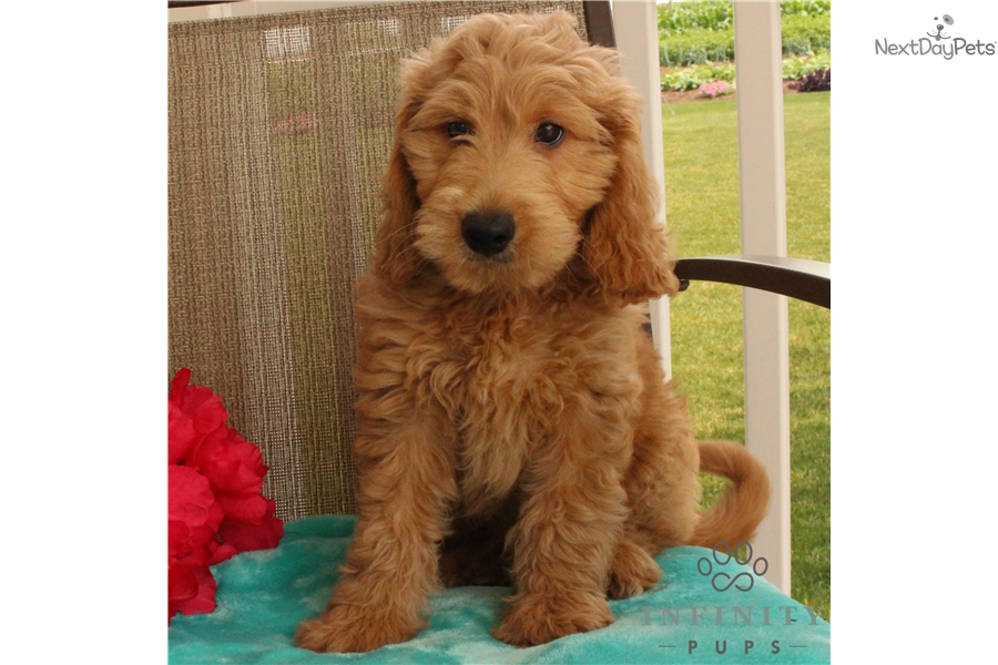 Kowboy Goldendoodle Puppy For Sale Near Lancaster