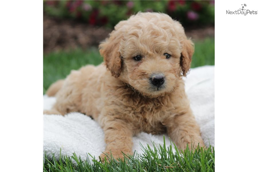 Boomer Goldendoodle Puppy For Sale Near Lancaster