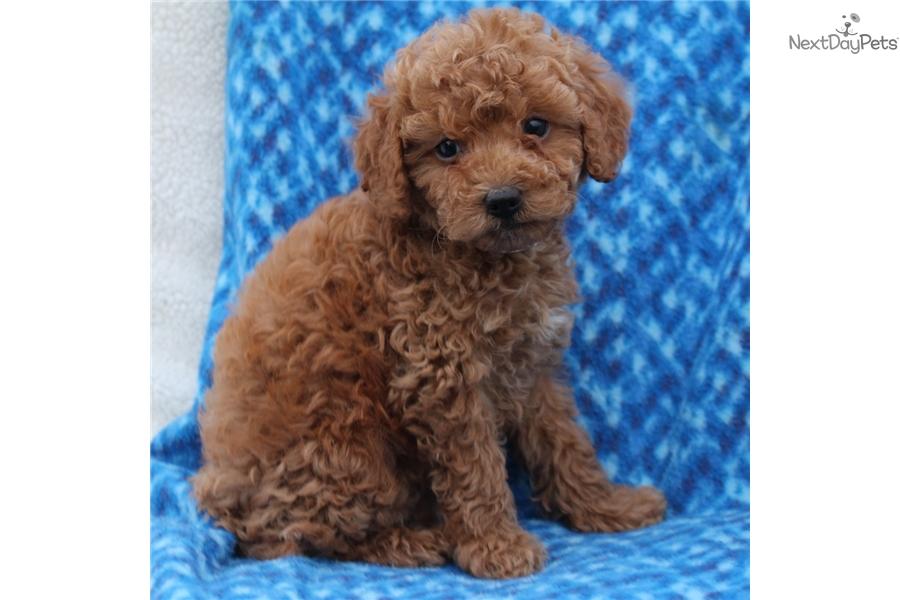 Darien Poodle Miniature Puppy For Sale Near Lancaster