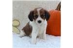 Picture of SWEET TEMPERED HAPPY HEALTHY CAVALIER HAVANESE PUP