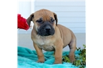 Picture of a South African Boerboel Puppy
