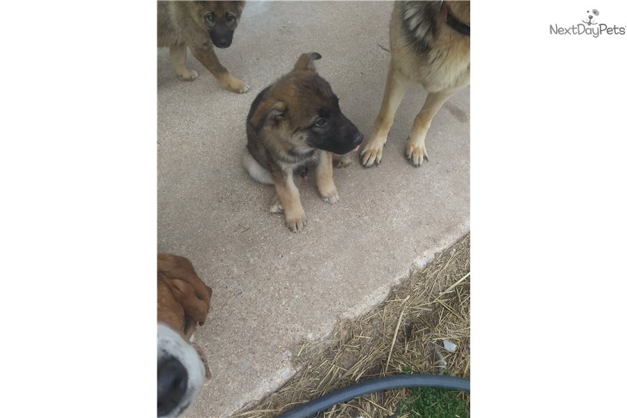 Darren German Shepherd Puppy For Sale Near Springfield Missouri
