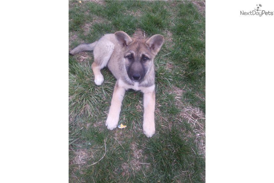 Kelly German Shepherd Puppy For Sale Near Springfield Missouri