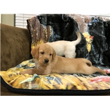 View full profile for Golden Puppies