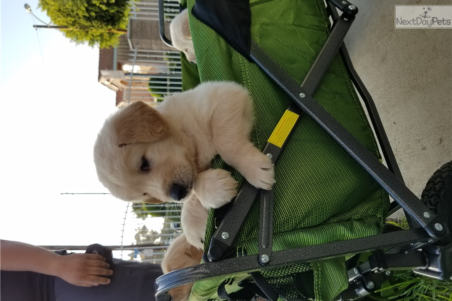 Logan Golden Retriever Puppy For Sale Near Los Angeles California