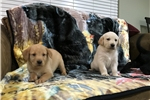 Picture of Beautiful Golden Lab Puppies