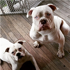 View full profile for Honeyblue Americanbulldog Kennels