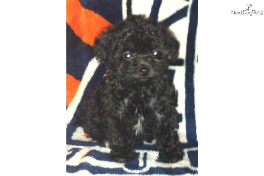 Black Teacup Boy Poodle Toy Puppy For Sale Near Pueblo Colorado