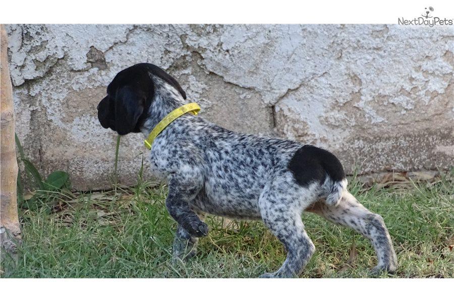 Female Dog Names German Shorthaired Pointer