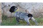 German Shorthaired Pointer for sale