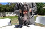 Picture of  European Champion Bloodline Large Silver Female