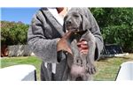Picture of  European Champion Bloodline Large Blue Female