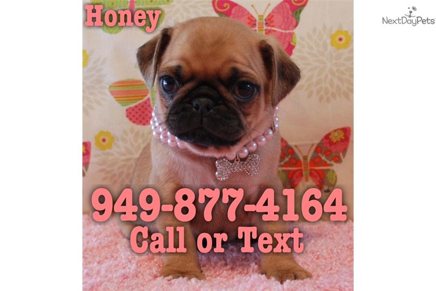 Honey Pug Puppy For Sale Near Orange County California 82f4ec31
