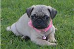 Penelope The Pug  | Puppy at 8 weeks of age for sale