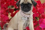Picture of Fergie The Pug