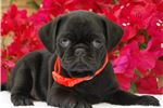 Picture of Jay-Jay The Pug