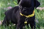 Picture of The Black Pugs