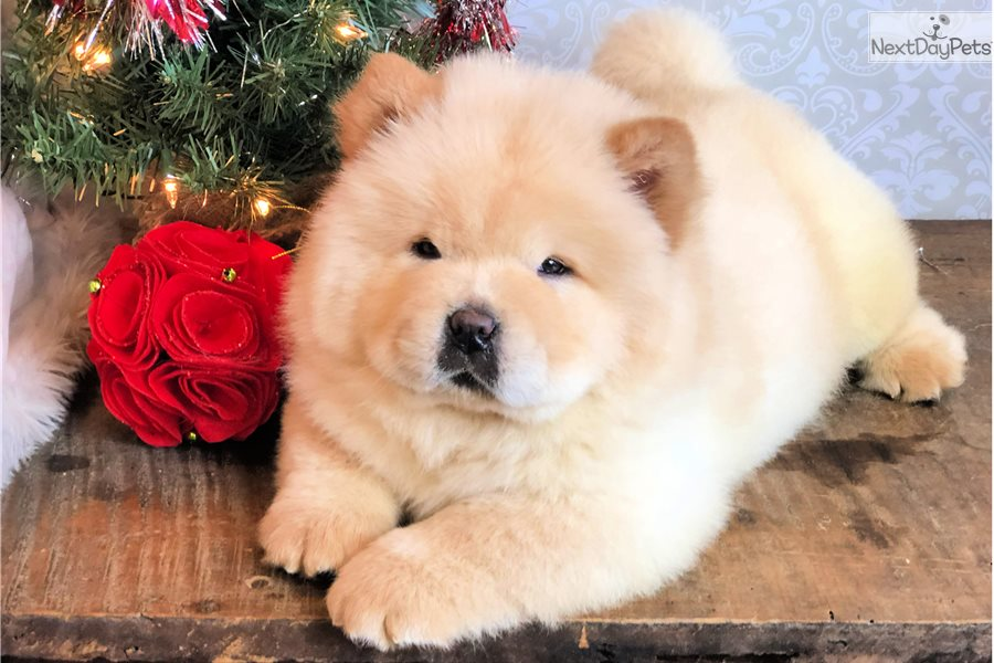 Payson: Chow Chow puppy for sale near Los Angeles, California