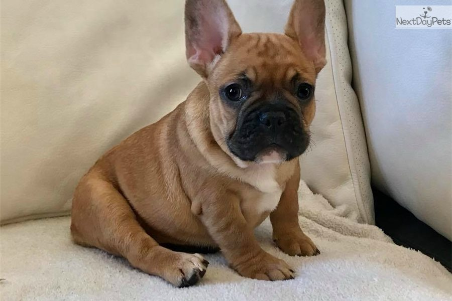 Buttercup French Bulldog Puppy For Sale Near Los Angeles