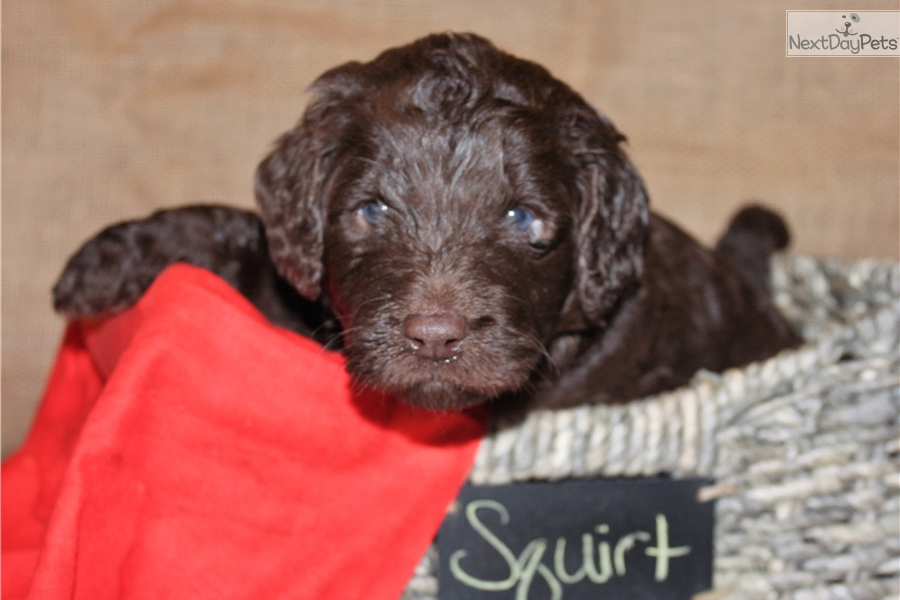 Squirt Goldendoodle Puppy For Sale Near Minneapolis St Paul