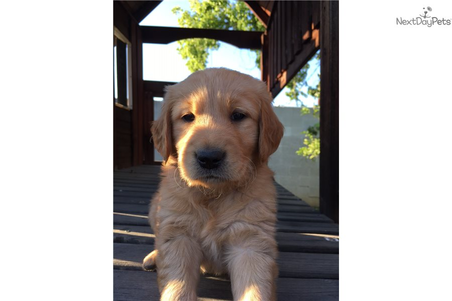 Ms Pacman Golden Retriever Puppy For Sale Near Los Angeles