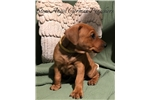 Picture of AKC German Pinscher Pup