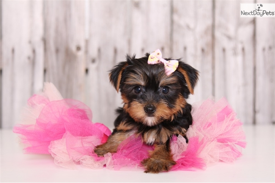 yorkshire terrier for sale near me