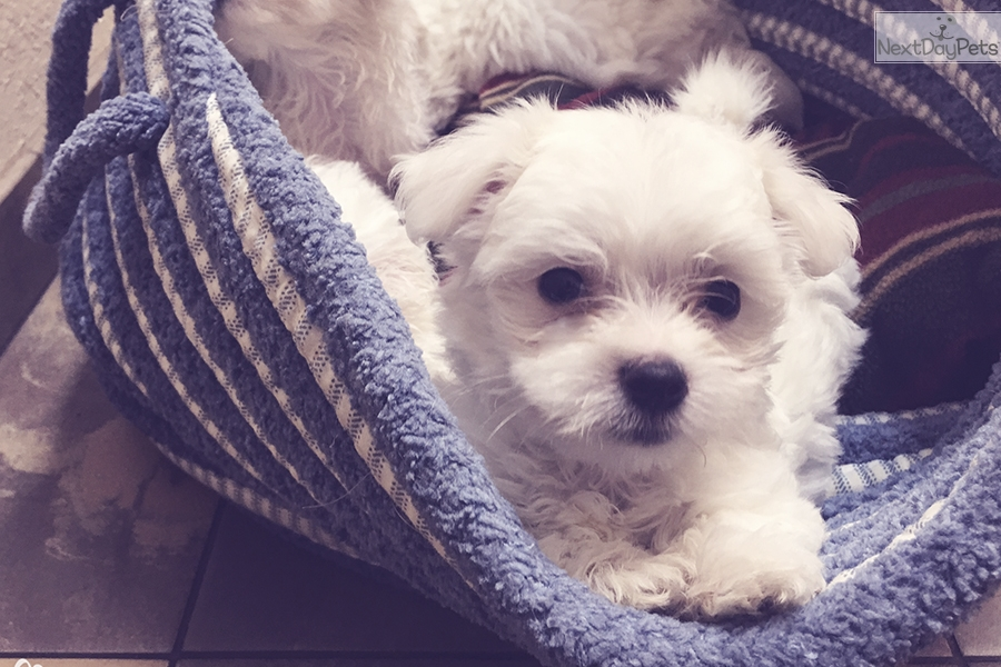 Maltese Puppy For Sale Near Tampa Bay Area Florida 79d50d8f 5c31