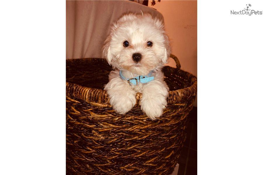 Petunia Maltese Puppy For Sale Near Dallas Fort Worth Texas